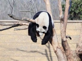 Fotos mostram panda dormindo 'desajeitado' em árvore na China