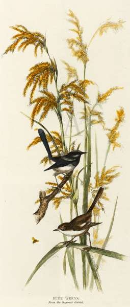 WREN BLUE 1886 — The blue Wrens from the Seymour District Stock Number BI AA PAA Artist Ellis Rowan Date C1886 Size 270mm × 115mm Technique Hand coloured engraving.