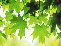 Bellissimo sfondo di Foglie Acero Verde, con risoluzione 1440 x 900 categoria Natura Fiori Fulmini per il Desktop del tuo PC. Foto spettacolare, wallpaper bellissimo
