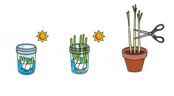 Come coltivare il porro, cipollotti, finocchio e citronella senza i semi