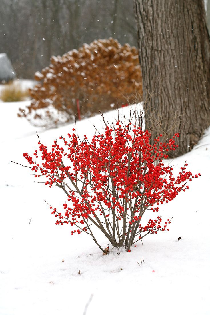 Bring A Splash Of Red In From The Garden, Even In The Middle Of Winter