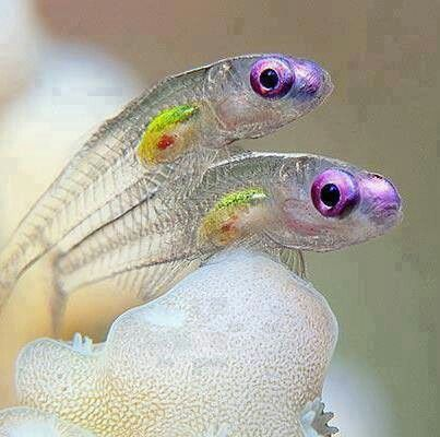 Transparent fish. Want! Since I also love glass catfish