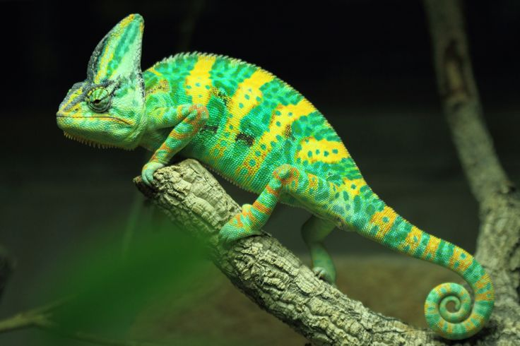 We're feeling a bit colourful today. Veiled chameleon ...
