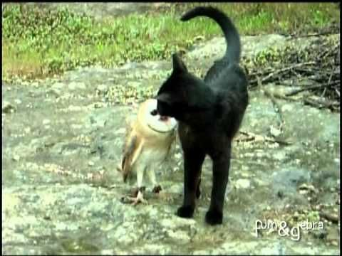 The amazing footage shows Fum the cat and Gebra the barn owl playing together in the open countryside.