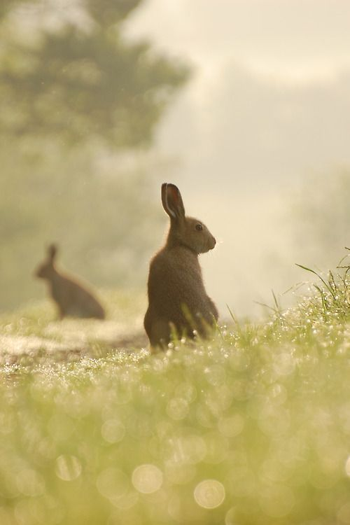 rabbits in the mist