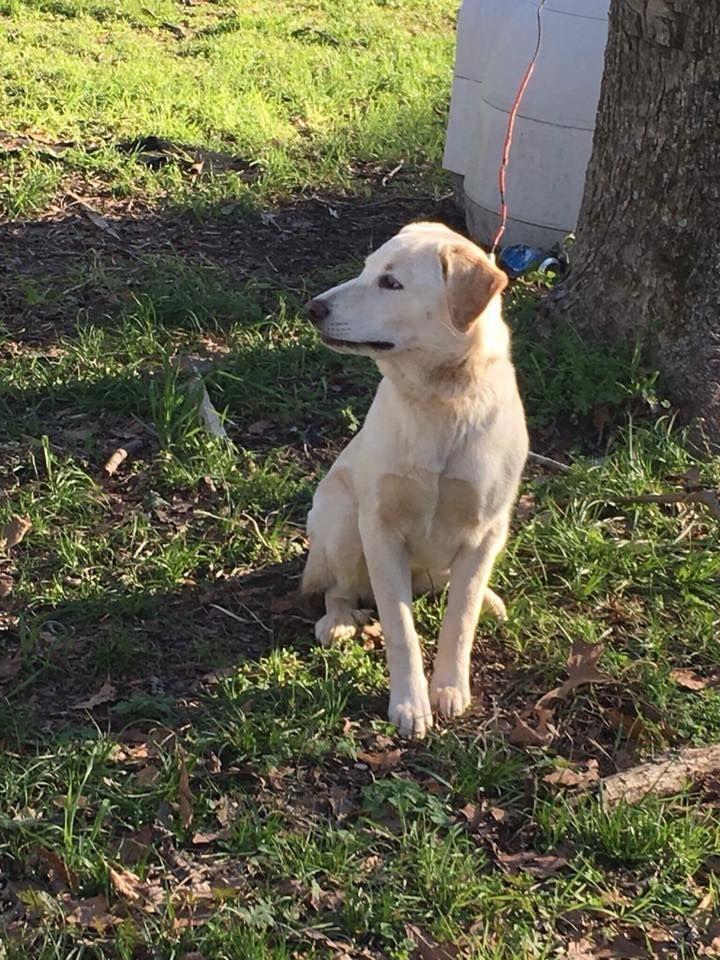 Golden Labrador Dog For Adoption In New York Ny Adn 711428 On Puppyfinder Com Gender Female Age Adult Labrador Golden Labrador Dogs