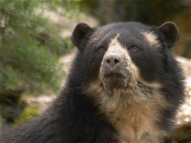 The spectacled bear is one of the most endangered bear species in the world, second only to the  giant panda bear, to which they are the closest related.