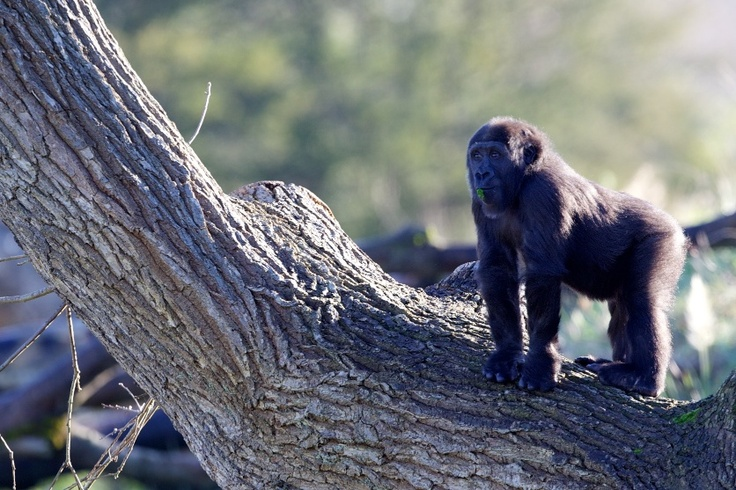 Kafi is very active in the gorilla rainforest, swinging from trees and playing with the other young gorillas.