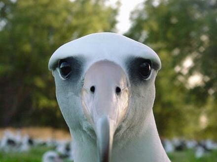 Majestic af! Just look at that adorable face! #albatross