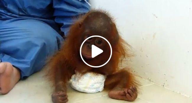 Bebé Orangotango Órfã e Traumatizada Abraça o Próprio Corpo Em Busca De Conforto