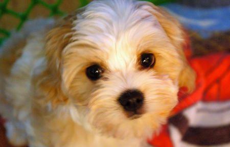 Havanese Dogs For Sale In Seattle