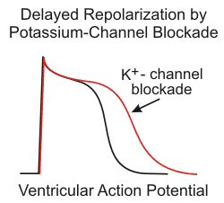 Graph showing ventricular action potential with delayed repolarization by potassium channel blockade. Potassium-channel blockers comprise the Class III antiarrhythmic compounds according to the Vaughan-Williams classification scheme. These drugs bind to and block the potassium channels that are responsible for phase 3 repolarization. Therefore, blocking these channels slows (delays) repolarization, which leads to an increase in action potential duration and an increase in the effective…
