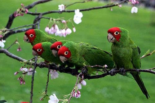 Cherry-headed Conures (on a Cherry tree!)