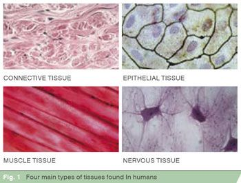 four types of tissue The four main types of human tissue are epithelial, connective, muscle & nervous as for as similarities, each of the 4 tissue types are made up of specialized cells that are grouped together according to structure and function.