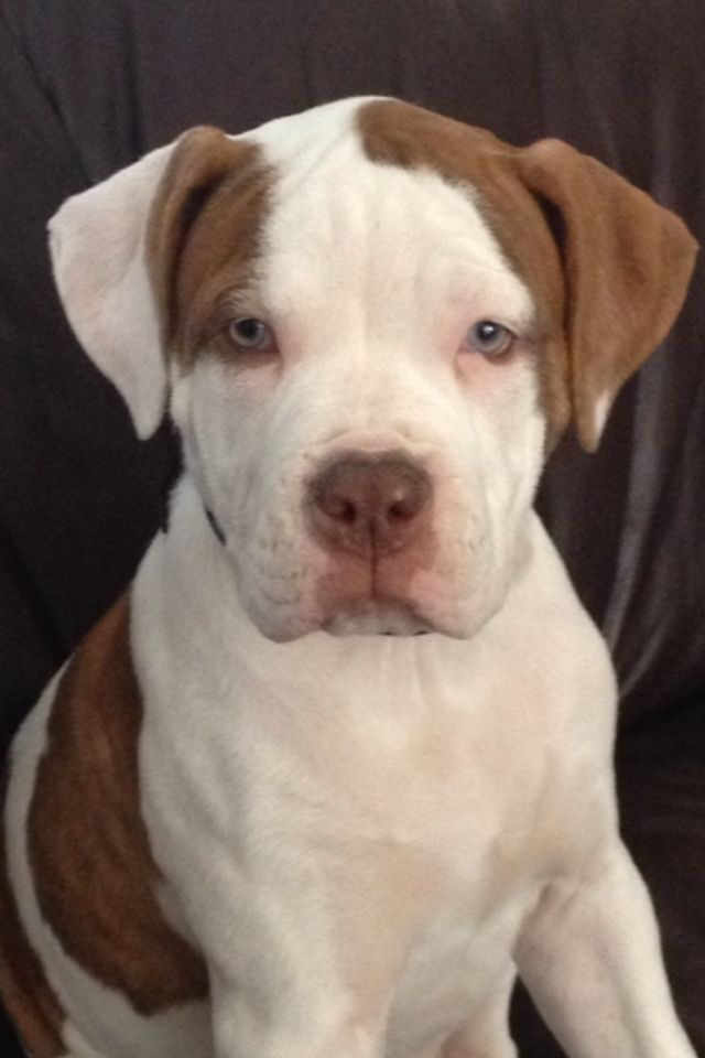 american bulldog dogs 101 1000 ideas about american bulldog puppies on pinterest 1623