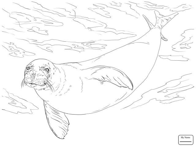 Exclusive Picture Of Seal Coloring Pages Animal Coloring Pages