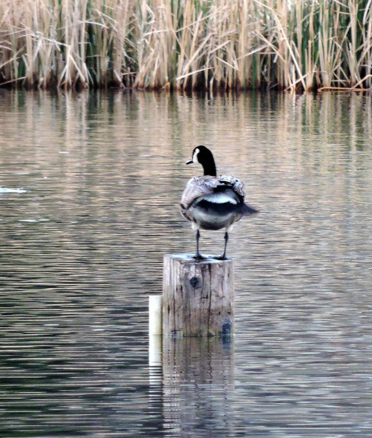Canada Goose ©Eileen Rutherford. Wild Bird Company - Boulder, CO. Saturday Morning Bird Walk at Sombrero Marsh - April 18, 2015.