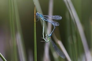 Azure damselflies (Coenagrion puella) mate at RSPB Broadwater Warren, Kent. Of the 17 damselfly and 25 dragonfly species in Britain, many are in decline due to habitat loss.