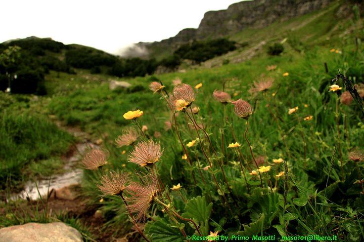 """https://flic.kr/p/9ScaNk   Fiori al Monte Giovo -  (pievepelago modena italy ) _3718 DVD 13   Caro Primo, >   la foto: """"Fiori al Monte Giovo"""", ritrae, in primo piano, un gruppo di fiori  >appartenenti alla famiglia delle Rosacee: il Geum montanum L. ; nome italiano:  >Erba benedetta delle Alpi, detta pure Cariofilata montana.  >Nella foto appaiono sia i petali gialli che i """"pappi"""" (gineceo già fecondato,  >cioè i semi). >Complimenti per le splendide imma..."""