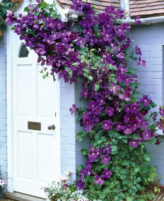 Jackmani Clematis,, For the hummingbirds. Flower late spring to summer