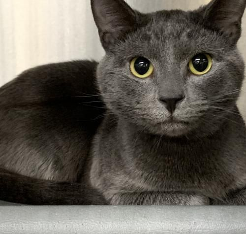Adopt Peppers Macedonia Petsmart On Russian Blue Cat Russian