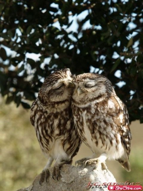 Owls in love: Favorite Things, Birds Photo, Owl Lovin, Animal Folder, Living Things, Beautiful Birds, Beautiful Things, Adorable Animal, Fascinators Animal