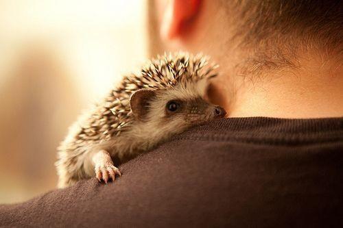 Baby Hedgehog On Owners Shoulder
