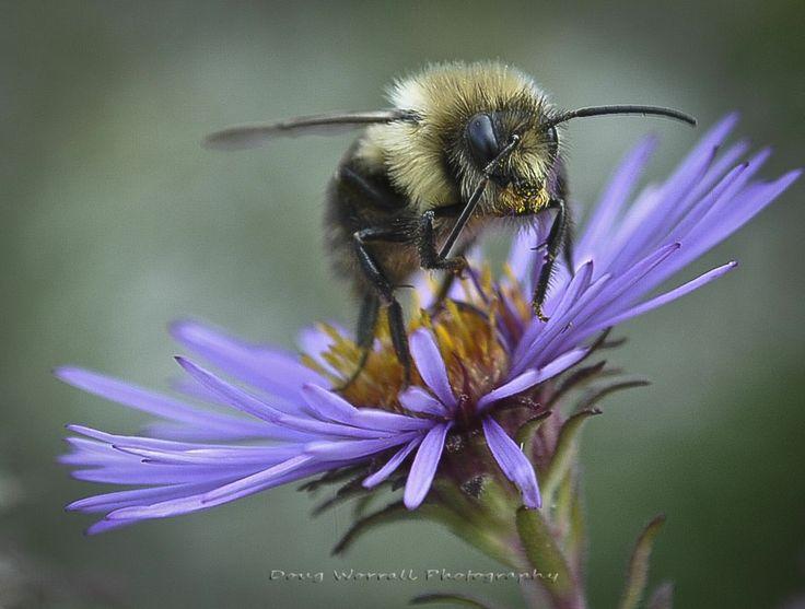 Keystone+Species | Keystone Species The Pollinators Honey Bees