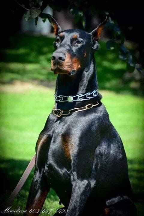 #Doberman I miss my kano! My dobey was the best dog I've ever had