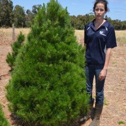 Christmas Tree : 2.1m Price : $90