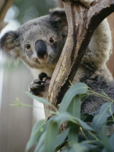 Close View of a Koala Bear Photographic Print by Kenneth Garrett at Art.com