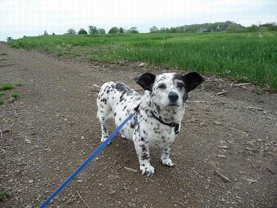 4. Croisement entre un chien de race Corgi et Dalmatien