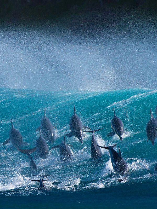 surfsouthafrica:  Dolphins, Port St Johns, South Africa. Photo: Wim van den Heever