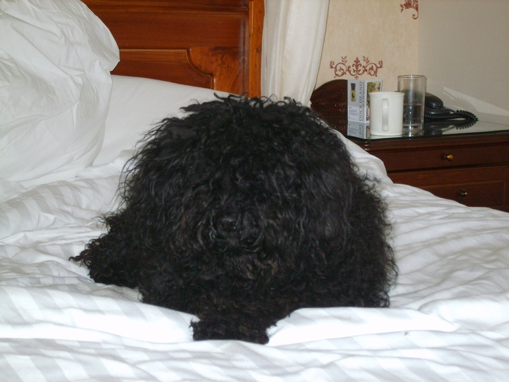 Erszi relaxing on holiday in the Lake District -- classic Puli owning the room. :-)