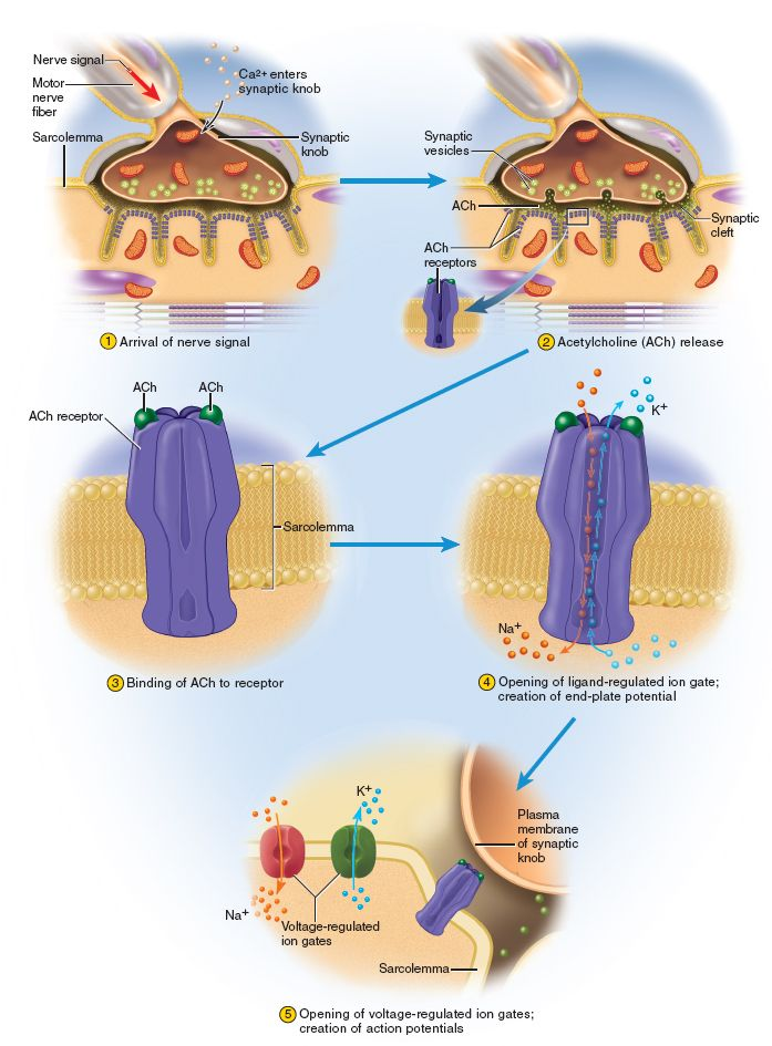 Excitation step of muscle contraction: the nerve signal arrives at NMJ opens up Ca+ channels in pre-synaptic knob. This signals intracellular process that moves synaptic vesicles toward the membrane. Those vesicles fuse then release ACh via exocytosis into the synaptic cleft. ACh then binds to the ACh receptors (ligand-gated on the post-synaptic membrane....