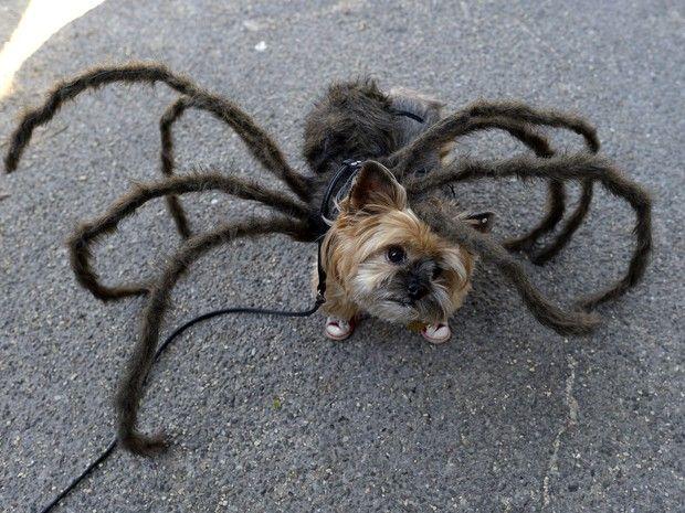 Fantasia de aranha já foi usada em pegadinha assustadora. Essa não deve dar medo em ninguém. (Foto: AFP PHOTO / Timothy A. Clary)