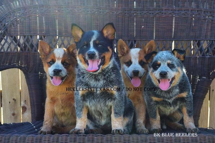 Blue Heeler, Australian Cattle Dogs For Sale, Blue Heelers Texas