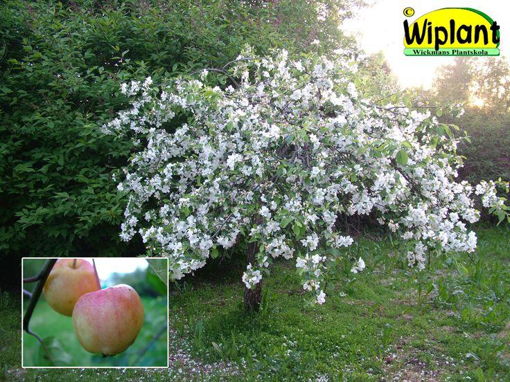 Malus 'Hyvingiensis', Hängprydnadsäppel. FinE-sort. Hängande form, vita blommor, stora frukter. Höjd 2-3 m.