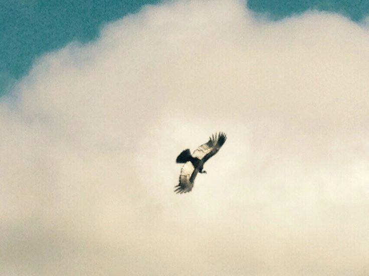 Un ave majestusa en su maximo esplendor ... El condor de los andes
