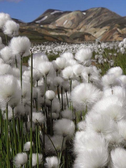 "Cotton Grass, Iceland .................... #GlobeTripper® | https://www.globe-tripper.com | ""Home-made Hospitality"" | http://globe-tripper.tumblr.com/"