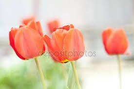 Risultati immagini per tulipani varietà