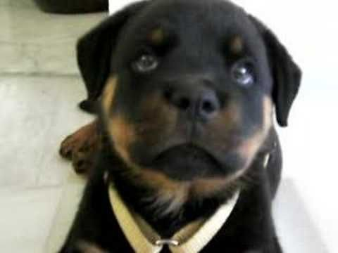 """Rottweiler puppy with hiccups."" My puppy used to get hiccups as well. I felt so sad for her but it was also adorable."