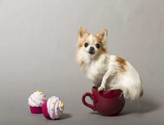 Cupcake—Smallest Service Dog Who knew that Chihuahuas could be service dogs? Therapy dog Cupcake upends this large dog stereotype by being the smallest service dog on record. She measures 6.25 inches and resides in Moorestown, NJ. Check out her darling Facebook page.