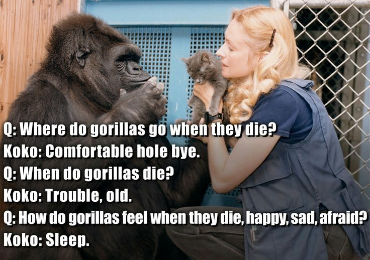Koko, the 45 year old, sign language speaking gorilla, is another aged celebrity who looks set to survive 2016. She already had a very healthy outlook on death when she answered this question at age 7.   Koko, the 45 year old, sign language speaking gorilla, is another aged celebrity who looks set to survive 2016. She already had a very healthy outlook on death when she answered this question at age 7