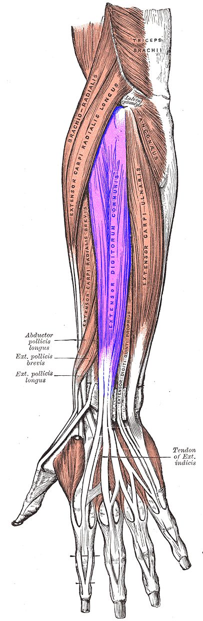 Extensor digitorum (posterior forearm) extends the medial four digits of the hand. It ORIGINATES at the 1. lateral epicondyle of the humerus (common tendon); 2. intermuscular septa with the adjacent muscles, and 3. antebrachial fascia. Its tendons pass, together with that of the extensor indicis proprius, through a compartment of the dorsal carpal ligament, within a mucous sheath. The tendons diverge on the back of the hand, and INSERT into the middle and distal phalanges of the fingers...