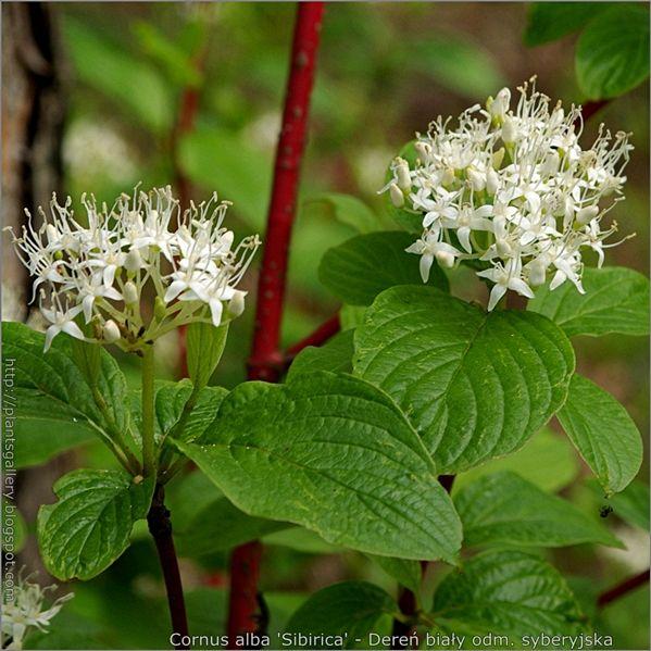 Dereń biały 'Sibirica' - Katalog drzew