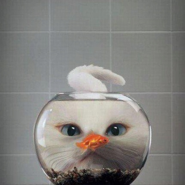Hmmmm luuunnch!!: Cats, Perfect Time Photo, Catfish, Fishbowl, Funny Animal, Big Eye, Whitecat, Bowls, White Cat