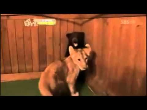 baby bear scared lion - YouTube Omg this is hilarious