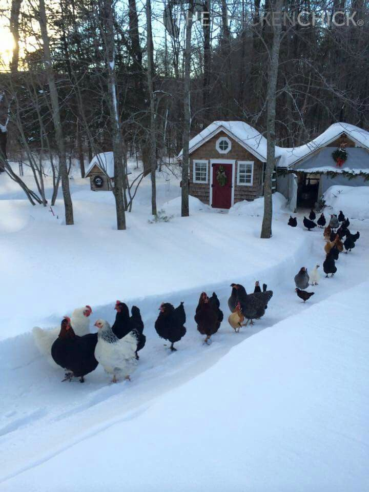 Chickens in the snow.