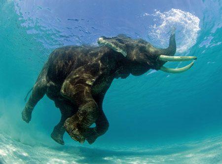rajan, the swimming elephant   havelock islands in the andamans   jody macDonald, photographer..